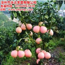 大三红蜜柚苗适合种植地区|湖南三红蜜柚苗专业培育基地