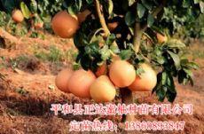 福建三红蜜柚苗批发,供应正宗红心柚苗