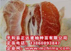 正达红心蜜柚苗可发货四川,贵州等地红肉蜜柚苗多少钱一株