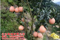 三红柚子苗批发--福建省正达蜜柚种苗有限公司