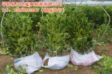 重庆哪有正宗三红蜜柚苗,重庆三红蜜柚苗价格