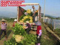 三红蜜柚苗四川哪里买便宜,找正达蜜柚苗基地