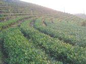 仙土生态园茶叶免费代理加盟一件代发茶叶