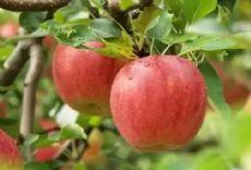 微商水果一件代发,免费招代理,果园直发图片