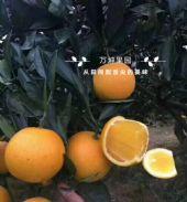 湖南麻阳冰糖橙果园一件代发图片