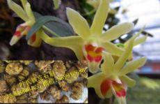 石斛花的功效和作用,叶氏铁皮石斛直销图片
