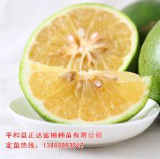泰国青柚苗,进口葡萄柚苗批发价格,哪有卖纯甜葡萄柚苗