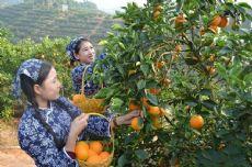 江西橙子果园货源直供新奇士脐橙供应商冰糖橙微商代理加盟