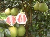 四川哪里有卖红心蜜柚苗 多少钱一株红心蜜柚苗 优质品种