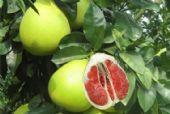 红肉蜜柚苗投资有技巧,正宗红肉蜜柚苗哪里有供应/出售