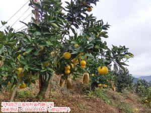 新鲜台湾甜葡萄柚苗哪里有出售|来这可提前预定甜葡萄柚苗