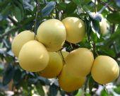 蜜柚苗原产地,三红蜜柚苗供应商,三红柚苗出售