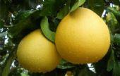 贵州红肉蜜柚苗品种介绍 适宜红肉蜜柚苗的种植环境
