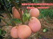 刚问世的大三红蜜柚意外走红|新鲜的三红蜜柚苗哪里有出售