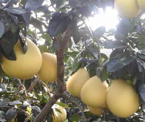两年生红心蜜柚苗几年挂果|大棵红心蜜柚树苗明天发货