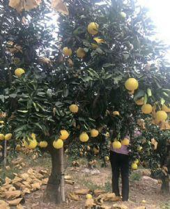 福建台湾甜葡萄柚苗来电订购_甜葡萄柚苗多少钱一公斤